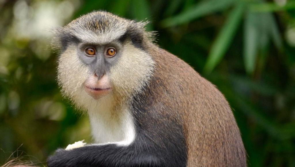 grenada's mona monkey